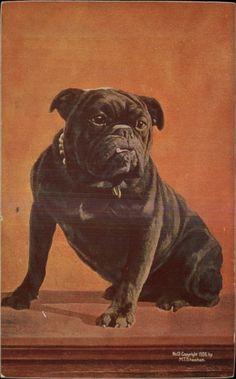 Adorable Black French Bulldog Bull Dog SHEAHAN c1910 Postcard