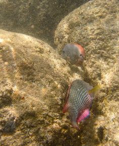 Pearl wrasse at Shark Cove, Oahu, by kanjigirl, via Flickr - http://www.flickr.com/photos/kanjigirl/7327467386/in/set-72157630027188568/