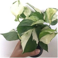 Send Only In Europe Pothos Plant, Houseplant, Garden Plants, Indoor Plants, Monstera Deliciosa, Live Plants, Plant Leaves, Patio, Flowers