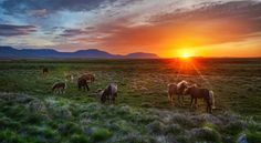 It was about 2 A.M. and the sun was just dipping into the horizon for a short stint. These horses were frolicking about in a huge flat field a bit inland from the end of the fjord. They were all so lively and alert, jumping and posing here and there.  - Iceland  - Photo from #treyratcliff Trey Ratcliff at http://www.StuckInCustoms.com