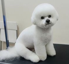 Choosing a grooming style for your Bichon Frise? Take a look at these awesome Bichon Frise haircut styles for your inspiration. Dog Grooming Styles, Pet Grooming, Cute Dogs Breeds, Dog Breeds, Cortes Poodle, Sims Pets, Bichon Dog, Dog Haircuts, Puppy Cut
