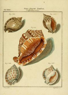 Neues systematisches Conchylien-Cabinet 2 Bd.  Nürnberg :Bey Gabriel Nikolaus Raspe,1769-1829.  Biodiversitylibrary. Biodivlibrary. BHL. Biodiversity Heritage Library