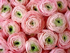 ranunculus= I LOVE THESE