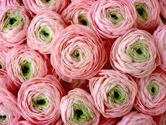 ranunculus= I LOVE THESE