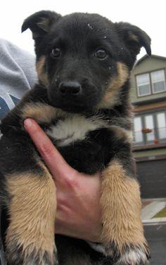 Border collie. German shepherd. Husky mix. In love!