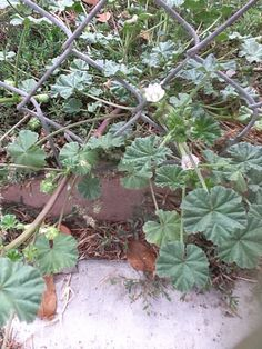 Mallows - A nutritious edible weed