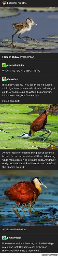 Jacana birds with terrifying feet Funny Animal Memes, Cute Funny Animals, Cute Baby Animals, Funny Cute, Animals And Pets, Funny Memes, Hilarious, Beautiful Birds, Animals Beautiful