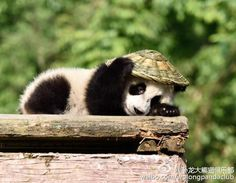 This panda, only a few months old, used his new toy to shield his head from the sun Cute Baby Animals, Animals And Pets, Funny Animals, Kung Fu Panda, Cute Panda, Cute Animal Pictures, Stuffed Animals, Animals Beautiful, Pet Birds