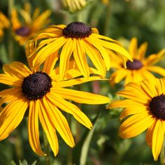 Black Eyed Susan Flowers is one of the backbones of classical plant mid to late summer perennial garden. Black Eyed Susan means eterna. Long Blooming Perennials, Blooming Plants, Flowers Perennials, Planting Flowers, Herbaceous Perennials, Gold Flowers, Summer Flowers, Yellow Flowers, Beautiful Flowers