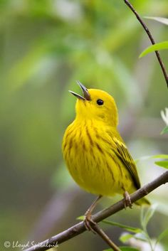 The yellow warbler is 4 1/2 - 5 inches in length, with a sharp, fine bill. Its body is all yellow, with yellow-green wings, yellow wing bars, and yellow tail patches. The male has bright chestnut-red streaks on its breast. Its black eye is outlined by a thin yellow eye ring. Plumage varies somewhat by region, with Alaskan birds being grayer, and the Sonoran subspecies paler, than the eastern standard