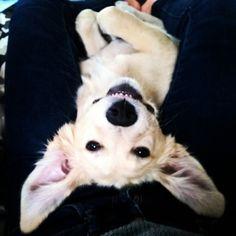 She thinks she's a bunny   #puppy #joy #goldenretriever #sierra #happiness #bunny #trippy #high #lazyday