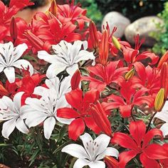 Carpet Lily Duet | Michigan Bulb | Perfect for borders and containers where its dramatic color combination and bold fragrance can be appreciated. Don't be fooled by their small height, these beauties bloom full size!