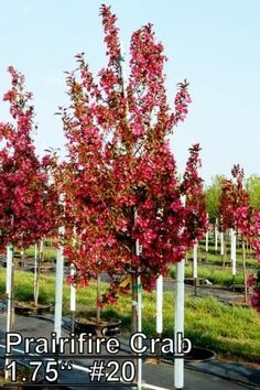 Ornamental Trees for Zone 6 | Best Small Ornamental Trees For Zone 6