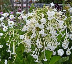 Nicotiana sylvestris - Only the Lonely Appx 1000 seeds Annuals & Biennials | eBay