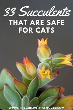 Pets and succulents don't always mix. Keep your furry friends safe by getting non-toxic succulents! Check out these 33 succulents that are all pet-safe! Non Poisonous Succulents | Non Toxic Succulents for Dogs |