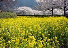 菜の花と石舞台古墳の桜