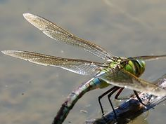 Words - emperor_dragonfly_0308072466.jpg