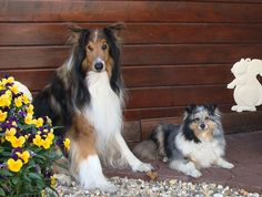 Collie and Sheltie