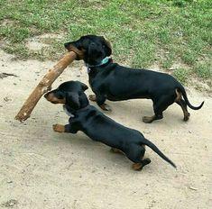 Determine additional details on Take a look at our site. Dachshund Puppies, Weenie Dogs, Dachshund Love, Cute Puppies, Cute Dogs, Dogs And Puppies, Chihuahua, Doggies, Dapple Dachshund