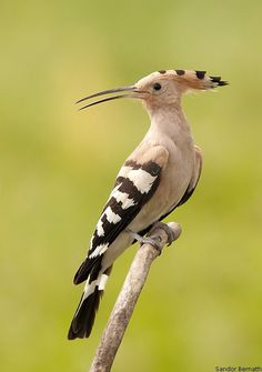 "Hoopoe - The hoopoe /ˈhuːpuː/ (Upupa epops) is a colourful bird found across Afro-Eurasia, notable for its distinctive ""crown"" of feathers."