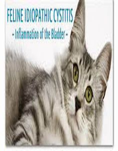 Feline Idiopathic Cystitis on Cat Guides Coconut Oil Cats, Cat Health Care, Sick Cat, Cat Info, Cystitis, Cat Signs, Healthy Pets, Cat Food, Health And Safety