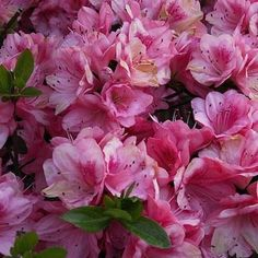 Plant your azaleas in well-draining, slightly acidic soil. Depending on the variety, plant in full sun or semi-shade, being sure to pick a spot that is removed from any competing tree roots.