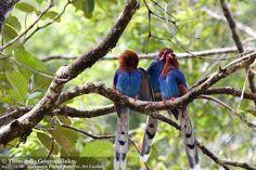 Pájaros azules. Sri Lanka.