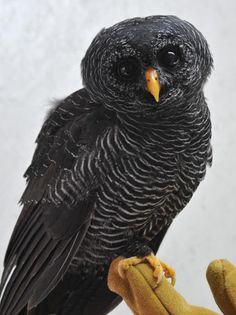 Coruja-preta resgatada em rodovia é tratada no zoológico de Paulínia, SP                                                                                                                                                                                 Mais