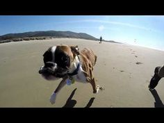 Last week, Panda Paws Rescue animal shelter uploaded this incredible video of Duncan Lou, a two-legged dog, and his friend Mane running on the beach together. | This Two-Legged Dog Running On The Beach Is An Insanely Adorable Speed Demon