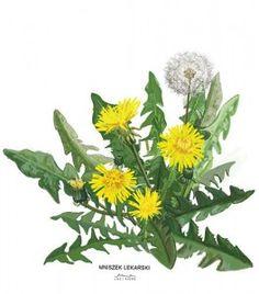 Plakat z rysunkiem Mniszek lekarski 30x34 papier ekologiczny