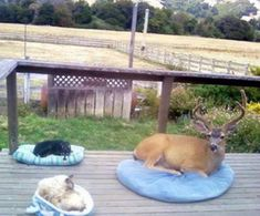 The homeowner said that the buck shows up everyday, so they gave him a bed too. : aww