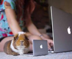 "** GUINEA PIG: "" Wut yoo think me should do? Order a mini-bale of alfalfa from Amazon? Me haz noes Gmail account yetz."""