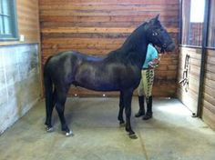 Peanut is an adoptable Pony Pony in Bellingham, WA. Peanut is a 18-24 month old Black Hackney cross pony. He is a bit shy and under socialized, requiring a family that is experienced in raising young ...