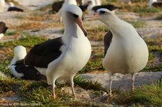 Oldest Banded Bird Spotted within Papahānaumokuākea - The Laysan albatross, which is believed to be at least 64 years old, was sighted on Nov. 19 with her mate, according to United States Fish and Wildlife Service officials.