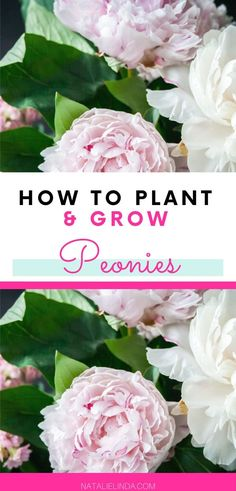 flower garden care Learn how to plant and care for peonies this year! Peonies are low-maintenance perennials that are also fragrant and they produce some of the prettiest flower blooms in existence! Peonies And Hydrangeas, Peonies Garden, Pink Peonies, How To Plant Peonies, Peony Plant, Pink Garden, Flowers Garden, Yellow Roses, Pink Roses