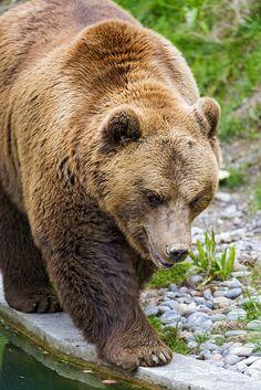 ooohh hoo hoo. grumpy face brown bear