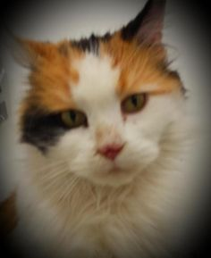 Dulcinea is an adoptable Calico searching for a forever family near Berlin, CT. Use Petfinder to find adoptable pets in your area.