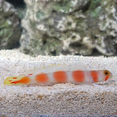 Pink bar goby, he nestles with my other tiny goby.