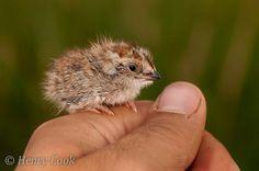 baby button quail!