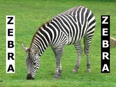 VIDEO, click to play. Quite impressive horse-like physical features, this fascinating black and white stripes zebra was busy eating green grass at the grassland of San Francisco Zoo ... more videos at http://www.youtube.com/jazevox