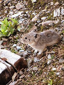 "Collared pika on Hatcher Pass, Alaska. A pika (/ˈpaɪkə/ py-kə; archaically spelled pica) is a small mammal, with short limbs, very round body, rounded ears, and no external tail. The name ""pika"" is used for any member of the Ochotonidae, a family within the order of lagomorphs, which also includes the Leporidae (rabbits and hares). One genus, Ochotona, is recognised within the family, and it includes 30 species."