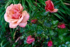 In My Garden #Rose #Rain July 2017 https://uk.pinterest.com/annbri