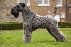 Kerry Blue Terrier. I think this may be my next dog . Love my pits but ...!