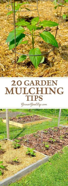 Mulching is one of the best things you can do for your garden. A generous layer of mulch over the soil surface will suppress weeds, retain moisture, and provide and soil enrichment as it decomposes. #BestAquaponicsTips