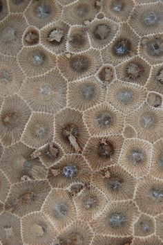 From Wikipedia: A Petoskey stone is a rock and a fossil, often pebble-shaped, that is composed of a fossilized coral, Hexagonaria percarinata. by Mark Willocks via flickr