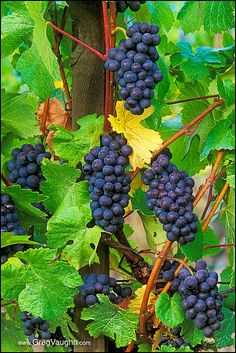 Grapes - Willamette Valley, Oregon