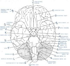 Printables Anatomy And Physiology Worksheets skulls free worksheets and google on pinterest anatomy physiology labeling cerebrospinal fluid flows from the fourth ventricle into central