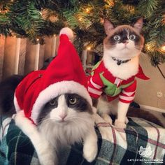Silly Looking Christmas Cats. Christmas Kitten, Merry Christmas Ya Filthy Animal, Christmas Animals, Christmas Eve, I Love Cats, Crazy Cats, Cool Cats, Gatos Cats, Photo Chat
