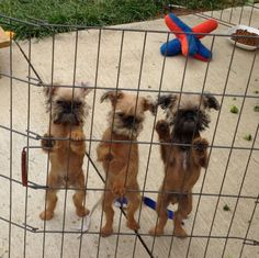 9 Things Only a Brussels Griffon Owner Would Understand | WOOFipedia by The American Kennel Club