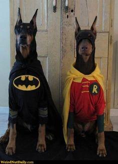 Funny Pictures @ WeirdNutDaily - Doberman Batman